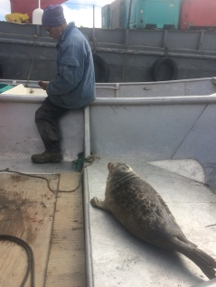 Baby seal waiting to be returned to the water in a safe place.